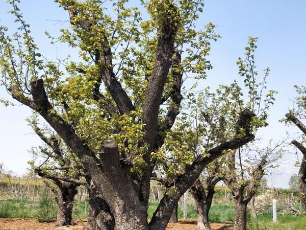 大规格柿子树