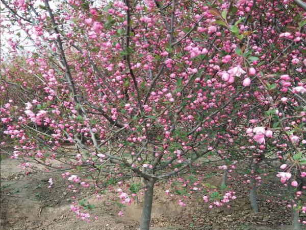 小叶垂丝海棠